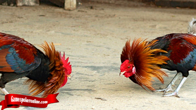 Trik Termudah Ternak Ayam Bangkok
