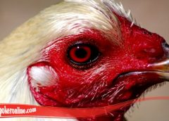 Mudah Menyembuhkan Mata Ayam S128 Terluka
