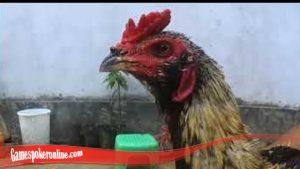 Tentang Ayam Brewok S128