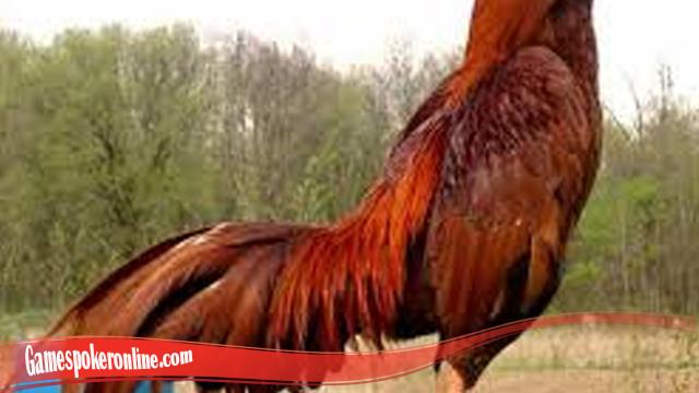 Mudah Tumbuhkan Bulu Pada Ayam SV388